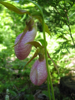 Lady slippers
